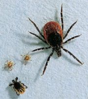 Ticks causing encephalitis
